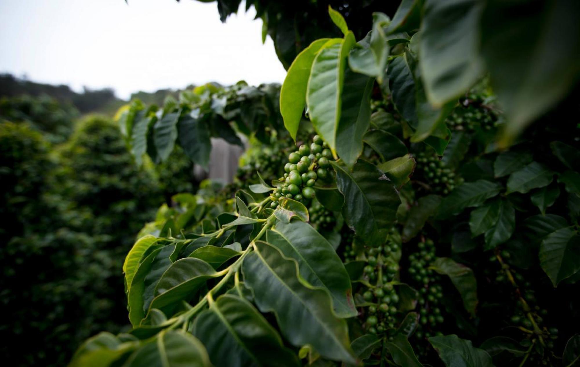 Зелёный кофе оптом